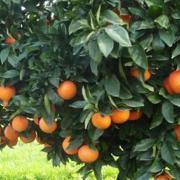 Naranjo Citrus sinensis