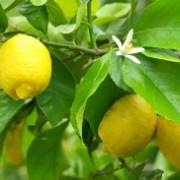Limonero Citrus limon