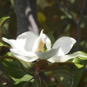 Magnolia grandiflora Cristina M Salamanca Paisajista marbella