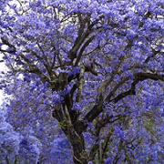 Jacaranda mimosifolia Cristina M Salamanca Garden design Marbella